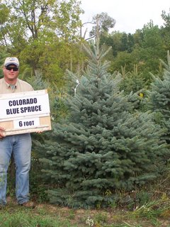Colorado Blue Spruce 6